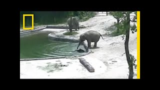 Watch: Elephants Rescue Their Baby From a Pool   National Geographic