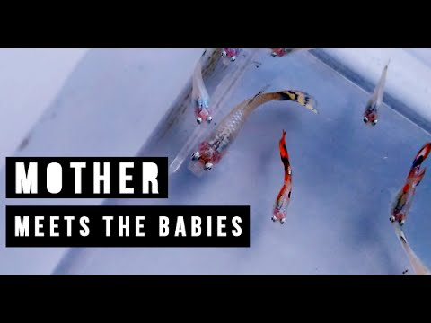 Mother Guppy eats their babies?  Mother Meets The Babies for