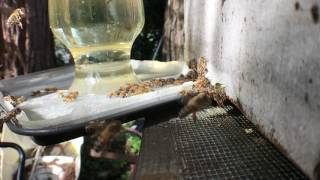 Slow mo honey bees