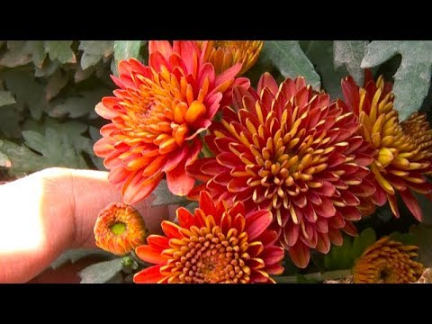 Gul E Daudi Plant Care and How to Grow From Cuttings