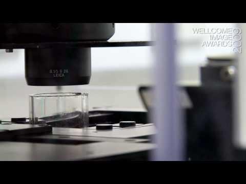 Confocal and multiphoton microscopy