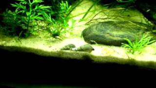 Swordtail and Corydora 10G Planted Aquarium - Music: Above and Beyond - In the Past