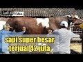 sapi super besar terjual dengan harga 42 juta