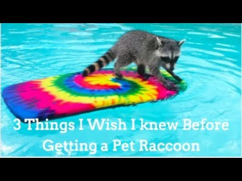 3 Things I Wish I knew Before I Got a Raccoon!