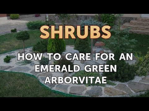 How to Care for an Emerald Green Arborvitae