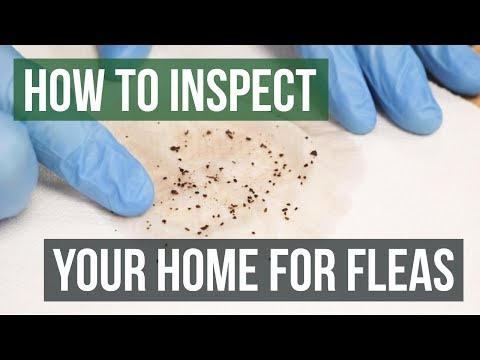 How to Inspect Your Home for Fleas (4 Easy Steps)