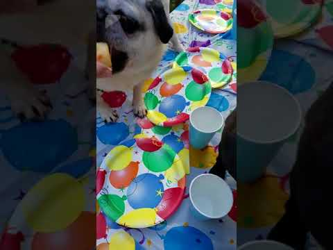 Pug Party and Cupcakes