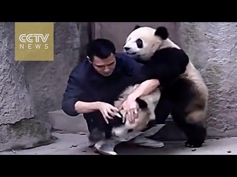 2 Ekor Panda Bergusti Dengan Penjaga Mereka Kerana Tidak Mahu Ambil Ubat
