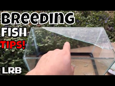 🔴DIY How to Breed Tetras, Danios, Rasboras and other Egg Scattering Freshwater Fish