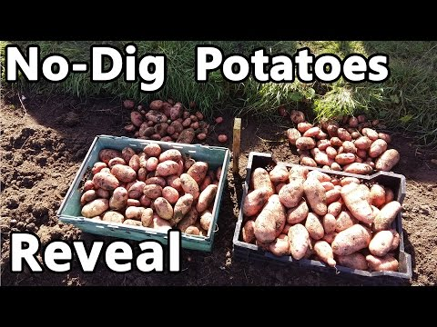 No-Dig Potatoes Reveal - Continuation of the experiment started in spring