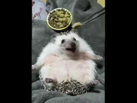 Lazy Pet Hedgehog gets fed! So cute and funny!