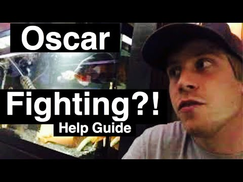 Oscar Fish Fighting! - How to Stop It