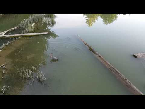 Great Blue Heron catching a fish!