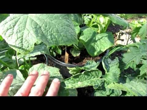 TRG 2012: Curing Yellowing Cucumber Leaves with Epsom Salt/Magnesium