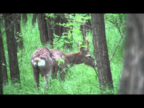 Deer antlers clean