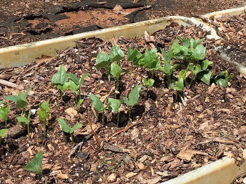 SOUTHERN PEAS in RAISED BEDS~Farm Talk