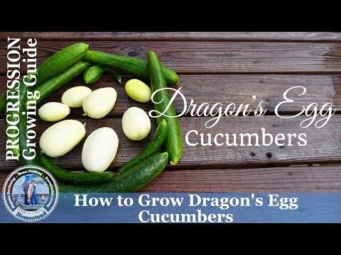 How to Grow Dragon's Egg Cucumbers