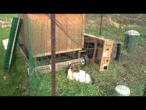Red tailed hawk gets in the chicken coupe (15 April 2012)