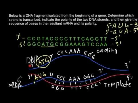 How to determine which strand of DNA is transcribed into mRNA?