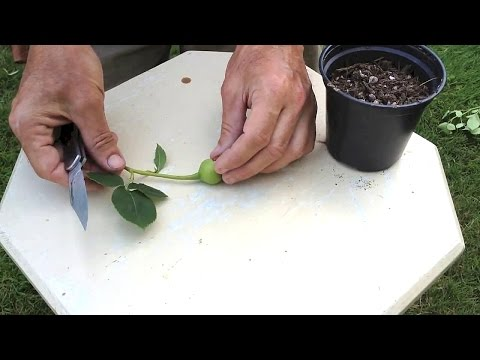 How To Hybridize New Roses with Rose Breeder Guest Brad Jalbert