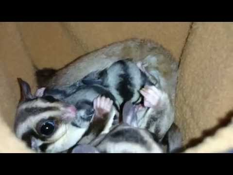 Sugar Glider feeding Joey's
