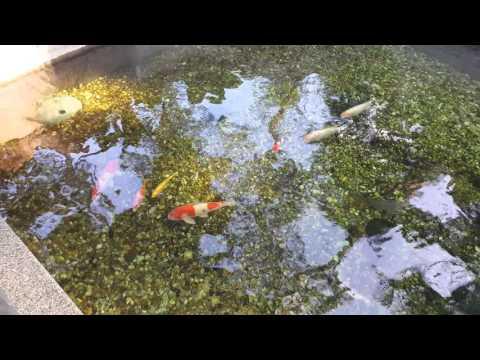 NEW Koi Pond! 20x20x6ft (Unedited)