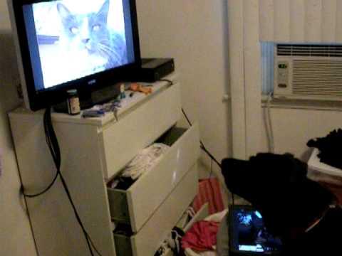 Dumb Black Dog Barking at Cat