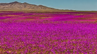El Desierto que se llenó de Flores / Los Videos mas Raros del Mundo 168