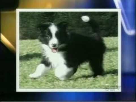 News Story on Finding an Ethical Dog Breeder - Cabaretcairns.com