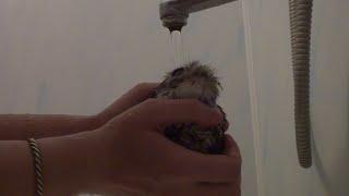 Baby Owl Gets Bath     ViralHog