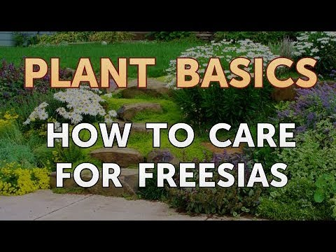 How to Care for Freesias