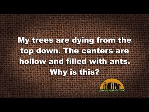 Q&A – My trees have hollow centers and are dying, and they have ants. Why?