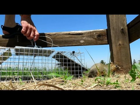 Trapping Squirrels & Catching Prairie Dogs - Havahart Traps