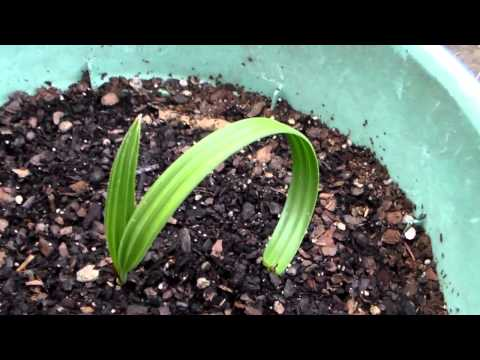 Growing Date Fruit ( The kind you eat )