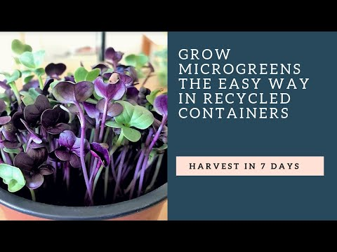 Grow A Microgreens Garden in Recycled Containers on your Windowsill
