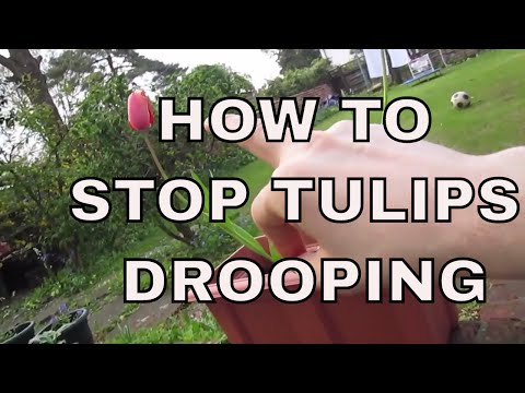 HOW TO STOP YOUR TULIPS DROOPING