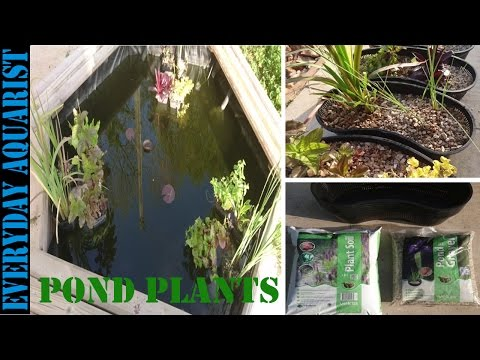Pond Plants | How To Plant and Re Pot