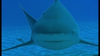 Diving with Dangerous Bull Sharks | Deadly 60 | Series 3 | BBC