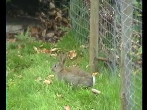 WILD RABBIT  -  Wild rabbit in chicken run squeezes through tiny hole