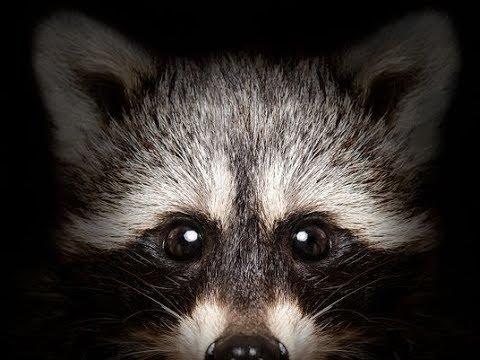 4 Ways To Tell if a Raccoon is RABID!!!