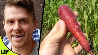 Cosmic Purple Carrot   Unusual Foods