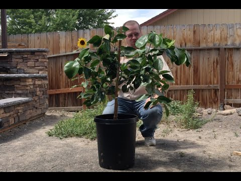 Growing and Shaping Citrus Trees in Containers