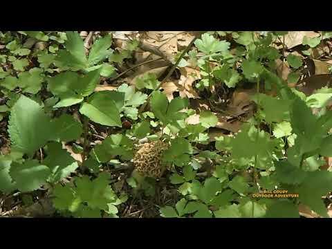 Finding Morel Mushrooms