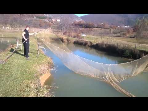 catching Koi from mud pond with a net