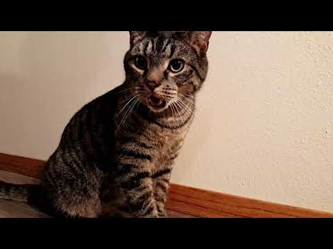 Cat and Kitten Chasing Laser Level | Cat Starts Panting | Both Cats Are Rescued Strays