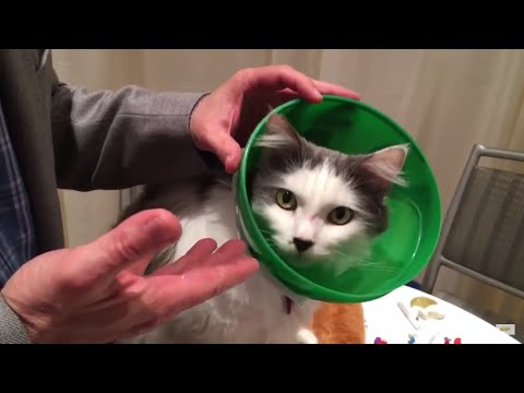 The SmartPractice Soft Paws E-Collar for Cats Protects Cats with Comfort