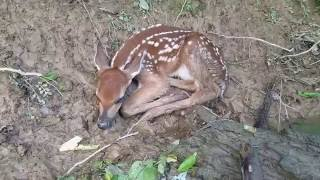 Middle River Fawn Rescue