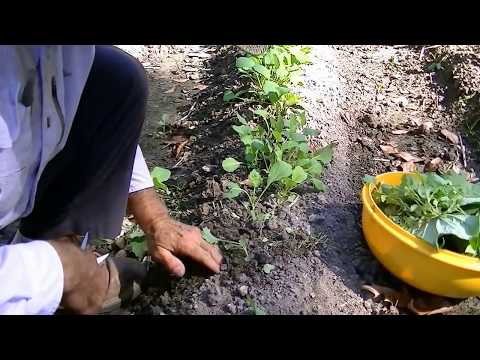 How to grow food In fall and winter. lettuce, collards, broccoli, brussel sprouts.
