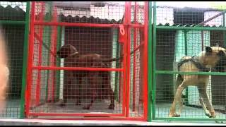 Pakistani bully dogs Contact:- +918059555122 more details