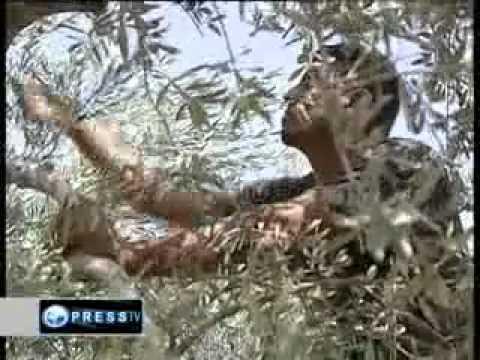 Israeli settlers set olive groves ablaze CNN